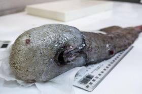 Faceless fish rears its head