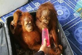 Man tries to smuggle baby orangutans in suitcase to Thailand