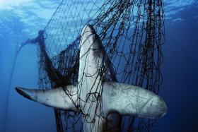A thresher shark caught in a gill net