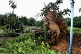 A massive root of the tembusu tree which fell at the Singapore Botanic Gardens on 11 February 2017.