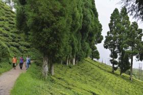 Darjeeling unrest threatens shortage of prized tea
