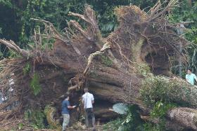 Heritage tree had flute, not cavity, says official