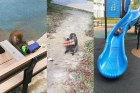 A monkey that was seen in the evenings at Punggol's Waterway Sunbeam estate has been caught by the AVA. Resident Joseph Tan took photos of it eating eggs it had snatched from a woman who was carrying groceries, amusing itself at a playground and helping itself to a child's bottle at the playground.