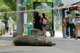 Man in hospital after wild boar attack at Bukit Gombak