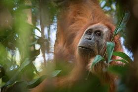 New orang utan species found in Indonesia