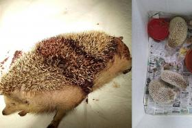 Hedgehogs left at garbage point