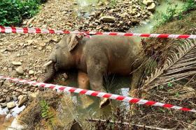 Pygmy elephant killed in Sabah