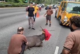 Widl sambar deer put down after accident on BKE