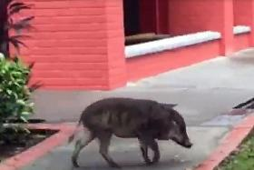 Wild boar seemingly at home at HDB estate