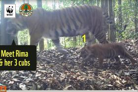 Rare  footage of Sumatran tigers raises conservation hopes