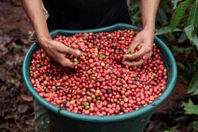 (Above) Coffee beans are actually derived from a fruit. White coffee is said to have originated from a coffee maker from Ipoh, Malaysia, in the 1950s.