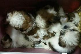 Man helps smuggle 23 puppies, 10 die of disease, another put down