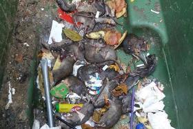 More than 20 rats killed in Pasir Ris rubbish bin