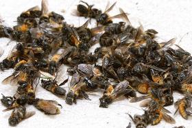 Fernvale resident terrorised by bees: I felt my life was in danger