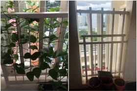 Photo of a passionfruit plant grown by Ms Louisa Tan's father a year ago (left), before it was chopped off by the town council.
