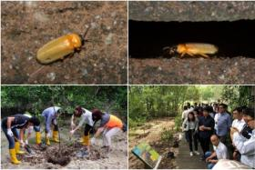 (Top) Adult mangrove fireflies at Pasir Ris Park. (Bottom) Panasonic Asia Pacific staff planting a tree and learning about fireflies at the park.