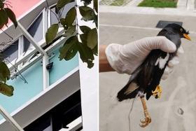 Yishun woman hangs mynah from laundry pole