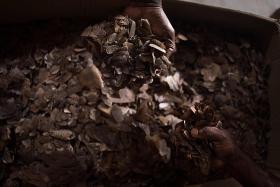 Malaysia makes massive seizure of pangolin scales