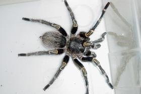 Man fined $13,400 over illegal tarantulas and iguanas