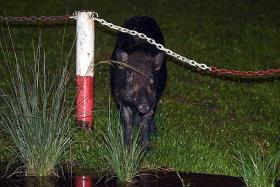Four people fined $2,500 each for feeding wild boars