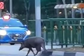 Condo residents spooked after video shows wild boar entering premises
