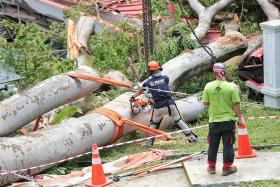 Giant tree collapses on Tanglin CC, no one hurt