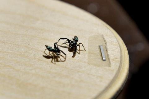 They keep childhood hobby of fighting spiders alive, Latest
