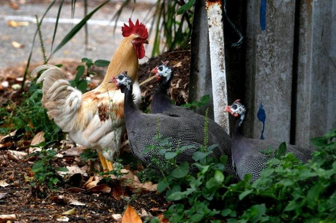 Chicken culling issue raises need for more awareness latest singapore